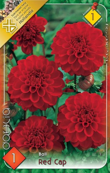 DAHLIA Ball - Red Cap 1ks
