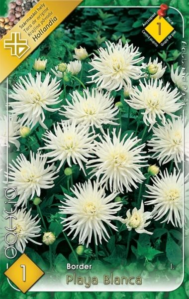 DAHLIA BORDER Playca Blanca 1ks