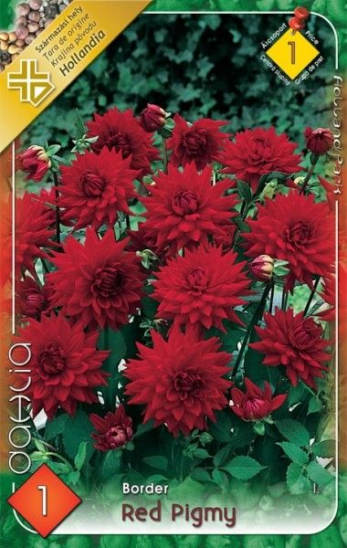 DAHLIA BORDER Red Pigmy 1ks