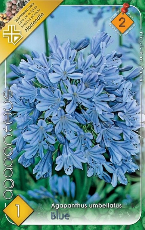 Agapanthus BLUE 1ks