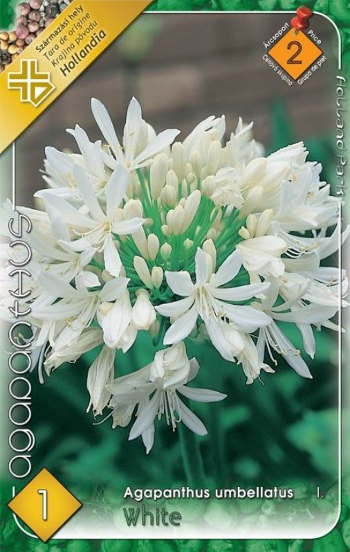 Agapanthus WHITE 1ks