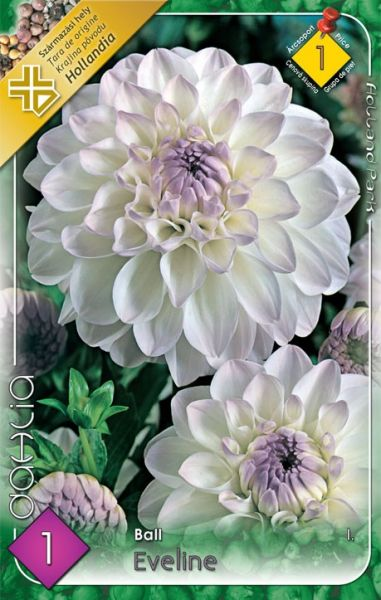 DAHLIA Ball - Eveline 1ks