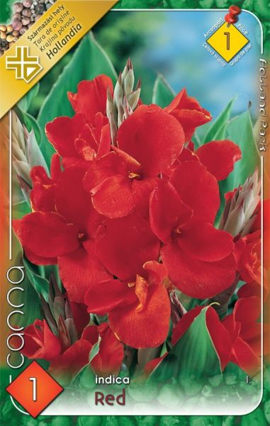 Canna greenleaves red 1ks