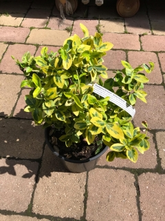 Euonymus fort Emerald´n Gold 2L 20/30cm